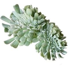 Crested Echeveria Topsy Turvy forms upswept rosettes to 6 inches in diameter. The leaves are tubular with widened tips, and icy silver blue in color. Succulents Online, Cacti And Succulents, Planting Succulents, Pink Succulent, Succulent Care, Succulent Ideas, Echeveria Imbricata, Plant Order, Patio Plants
