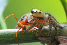 macro laba-laba kecil lagi makan semut