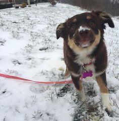 I think it is safe to say she likes the snow --------------------------- #miniaussie #mydogiscutest #miniaussiesofinstagram #miniaustralianshepherd #puppy #puppies #puppystagram #puppiesofinstagram #dogs #dogs #dogstagram #dogsofinstagram #lacyandpaws #silly #redtri #aussie #aussiesofinstagram #australianshepherd #australianshepherdworld #snow #winter by indyandeevee