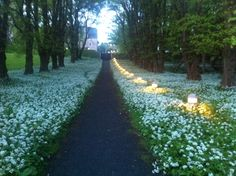 "Who would believe garlic could look so pretty !                                                         The path to the ""cathedral of the Isles ""   Millport , Isle of Cumbrae ."