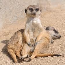 Suricata O suricata, também chamado de suricato é um pequeno mamífero da família Herpestidae, nativo do deserto do Kalahari. Estes animais têm cerca de meio metro de comprimento, em média 730 gramas de peso, e pelagem acastanhada.