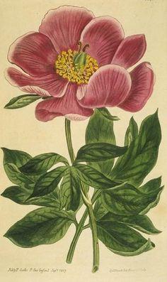 Crimson-flowered Peony:    http://lilac-n-lavender.blogspot.com/2012/03/vintage-spring-botanicals.html