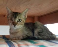 CHARLENE - Gato adoptado - AsoKa el Grande