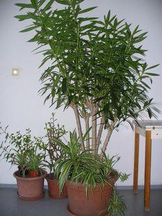Leander metszésének fortélyai lépésről lépésre   Balkonada Lombok, Bonsai, Wisteria, Plants, Gardening, Harvest, Bonsai Trees, Lawn And Garden, Bonsai Plants