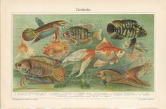 Aquariumfische Fishes Antique Illustration from German Lithograph. Print Reproduction for your Home Decor Sea Aquarium, Tropical Fish Aquarium, Veiltail Goldfish, Sea Life Art, Ocean Life, Antique Illustration, Fish Print, Old Postcards, Antique Prints