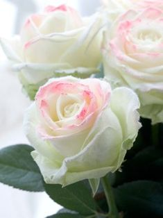 White roses tinged with just a bit of pink