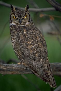 Great Horned Owl (Bubo virginianus) by Don Baccus