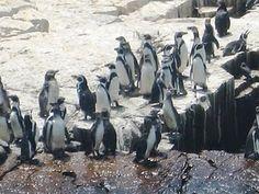 Otra vez los pingüinos