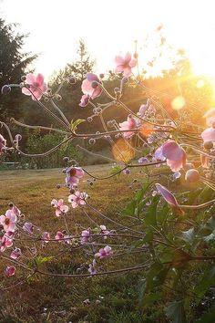 Anemone hupehensis, also called Windflower. Shade - autumn