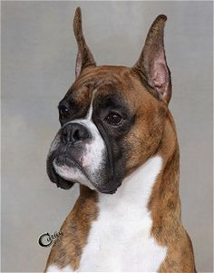 Am/Can Ch Rikar's Crime Of The Century, Beautiful Boxer Portraits