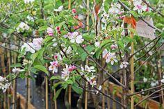 Fruitboom in bloei