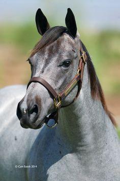 Very Blu. Quarter Horse.