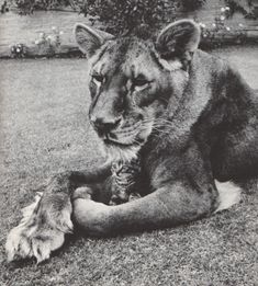 Lioness holding a kitten