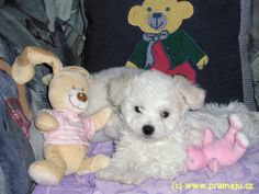 Cindy 4/2008a - Bichon Bolognese / Boloňský psík Bichon Bolognese, Dog Lady, Little Dogs, Animals, Little Puppies, Animales, Animaux, Animal, Animais