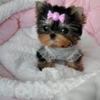 Gorgeous Male And Female Teacup Yorkie Puppies Picture