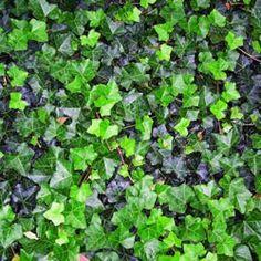 sub zero ivy