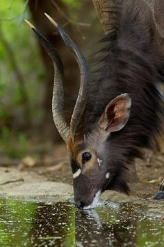 The striking Nyala Antelope is a graceful leaper capable of clearing a m fen. The striking Nyala Antelope is a graceful leaper capable of clearing a m fence from a standstill. Nature Animals, Animals And Pets, Cute Animals, Animals With Horns, Strange Animals, Savanna Animals, Wild Animals, Beautiful Creatures, Animals Beautiful