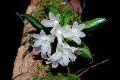 Hymenorchis javanica - Flickr - Photo Sharing!