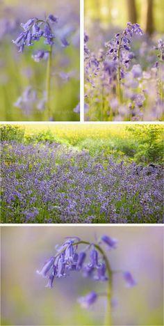 Garden View: Hyacinthoides non-scripta, in Baal, Germania