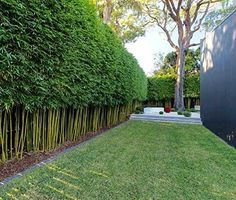 Graceful Bamboo Live Plant Textilis Gracilis Slender Weavers Privacy Hedge Screen
