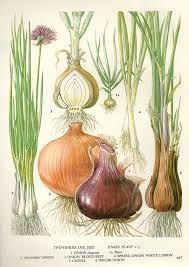 Onion Chart Vegetable Food Botanical Lithograph Illustration For Your Vintage Kitchen 167 - Modern Design Art And Illustration, Vegetable Illustration, Vintage Botanical Prints, Botanical Drawings, Botanical Art, Onion Drawing, Impressions Botaniques, Vegetable Prints, Illustration Botanique