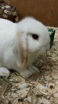 Adorable Mini lop rabbit from Alisons Animals, Kidlington