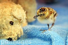 A spoon-billed sandpiper chick walks past a soft toy at the Wildfowl and Wetlands Trust (WWT) centre in Slimbridge, Gloucestershire.