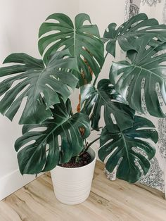 Learn everything you need to know to care for the jungalicious houseplant, Monstera deliciosa. Easy to care for and fast-growing, it will not disappoint! Faux Philodendron, Plantas Indoor, Decoration Plante, Flowers Decoration, Inside Plants, Plant Aesthetic, House Plants Decor, Plants For Home, Plants For Living Room