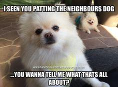 #pomeranian #pomeranianmeme #dogfunnies Find us on Facebook @ https://www.facebook.com/snoop.pomeranian