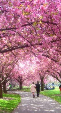 Cherry Blossoms,Japan