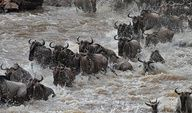 The Mara River flows through Kenya and Tanzania in the continent of Africa, intersecting the migration path of wildebeest and other animals in the Serengeti-Masai Mara game reserve