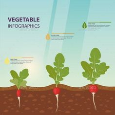 Buy Radish Infographics with Growth Stages by cookamoto on GraphicRiver. Edible root vegetable infographics or european germinated radish growth process information, background template for . Organic Mulch, Organic Gardening, Stage, Plant Diseases, Nutrition, Root Vegetables, Organic Matter, Plant Needs, Types Of Plants
