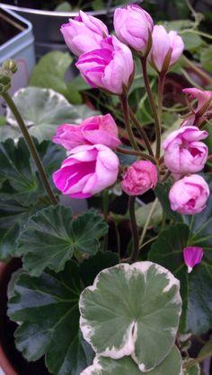 Pistokaslahja viimekesältä kukkii! Ihanat pelargoniat!