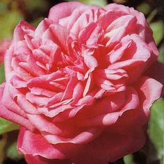 Archiduc Joseph est un des meilleurs rosiers thé par sa rusticité et sa bonne vigueur, fleurissant tout l'été. Fleurs de 7 cm, très doubles aux pétales pointus, enchevêtrés, chiffonnés, s'enroulant sur elle même, d'un rose pêche nuancé de corail et ce merveilleux parfum d'humus, spécifique aux roses thé. Buisson de 90 à 120 cm. Résistance correcte aux maladies. Thé. Naboçnnand, 1872.