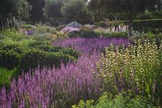 More Piet Oudolf- purple flowers are Salvia nemerosa, yellow spikes are Phlomis.