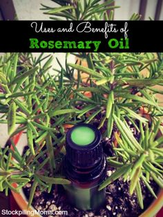 Uses and Benefits of Rosemary Essential Oil   #EssentialOils  #RosemaryOil Pinned for you by https://organicaromas.com/