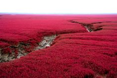 The Red Beach is located in the Liaohe River Delta, in China. It gets its name from its appearance, caused by a type of sea weed that flourishes in the saline-alkali soil. It starts growing during April/May & remains green during the summer. In autumn, it turns flaming red, & the beach looks as if it was covered by a red carpet. Most of the Red Beach is a nature reserve & closed to the public. Only a small, remote, section is open for tourists.