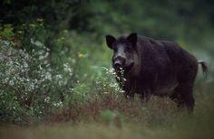 Hog Hunting Tips in Florida