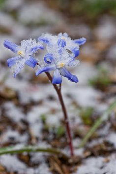 What To Search For Right Before You Purchase Your Higher Than Floor Pool Sleeping Winter Garden Glory Of The Snow, A Touch Of Frost, Spring Snow, Spring Fever, Beautiful Flowers Pictures, Flower Pictures, Little Buds, Snow Flower, Colorful Garden