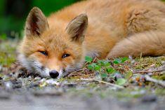 Red Fox by - Snufkin Beautiful Creatures, Animals Beautiful, Cute Animals, Fox Totem, Fox Pictures, Fabulous Fox, Pet Fox, Fox Art, Tired