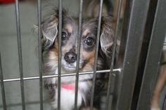 Intake #: 197566  Intake Date: 06/29/13 Available: 07/05/13 Description: 3 y/o, Female, Chihuahua Mix  This sweet and pretty girl came is as a stray and has not been claimed yet. She is uniquely beautiful and very, very sweet. Please share her information so she can find a family to love and care for her.   If you are interested in adopting this dog, please contact: Animal Friends of the Valleys 33751 Mission Trail Road Wildomar, CA 92595 (951) 674-0618 www.animalfriendsofthevalleys.com