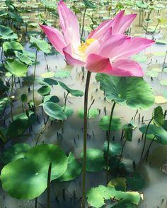 Lotus I (Tribute to Motherland - Vietnam)