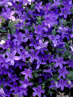 30 Rock Garden Plants That Perform Like Rock Stars Campanula Poscharskyana Half trailing, prostrate growth, able to cling to dry walls. Large rock gardens or sandy banks permit the stems to trail. Starry blue flowers of Campanula Poscharskyana highlight Rock Garden Plants, Shade Garden, Purple Garden, Flowers Perennials, Planting Flowers, Flowers Garden, Zone 4 Perennials, Part Shade Perennials, Landscaping With Rocks