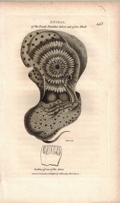 Pearly Nautilus removed from Shell 1809 Original Engraving Shaw