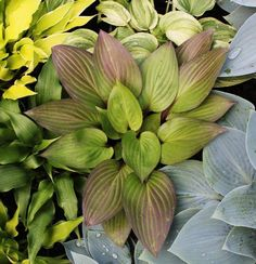 """Hosta 'First Blush' - 12""""H x 24""""W, red petioles extend into leaf, leaves blush…"""