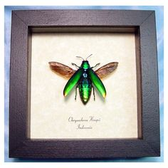 """This is the Beetle from which """"beetle wings"""" come from for beetle-wing embroideries. Chrysochroa kaupii Real Framed Jewel Beetle Flying Metallic green Rainbow Conservation Insect Display"""