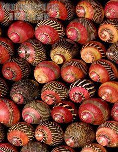 cores e padrões (ziguezague nerite) naturais das conchas de Neritina communis. (Imagem: photographersdirect.com)