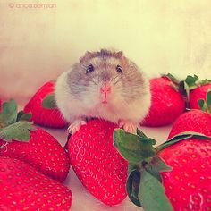 """Adorable. Hamster. Gerbil. Thing. Aww. Cute. Pet. Strawberries. Want. is this one caught """"red handed"""" ?"""