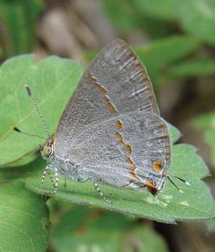 New green-eyed butterfly discovered in Texas