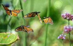 Image result for butterflies flying photography